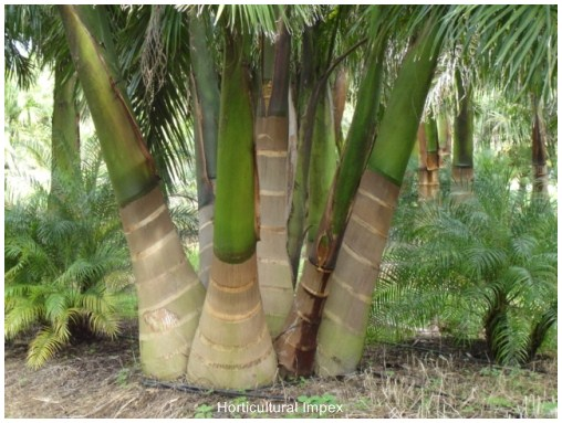 how to grow a royal palm tree from seed