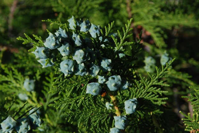 Top Multipurpose Tree Seeds : Thuja orientalis &XC_46